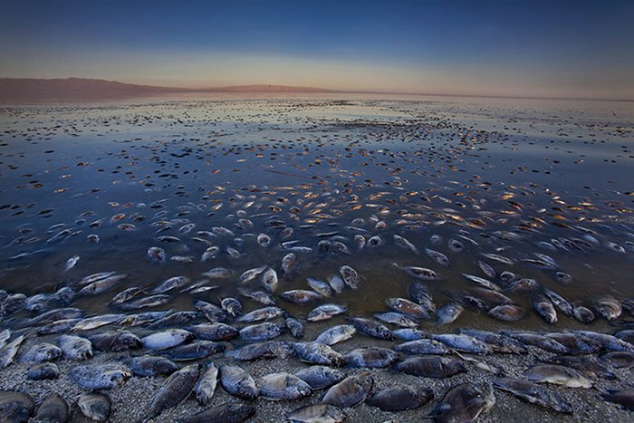 Peixes mortos no Salton Sea