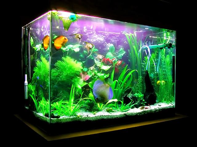 Dunia Ikan Hias - Tips Membuat Akuarium Ikan Mas Koki Sendiri