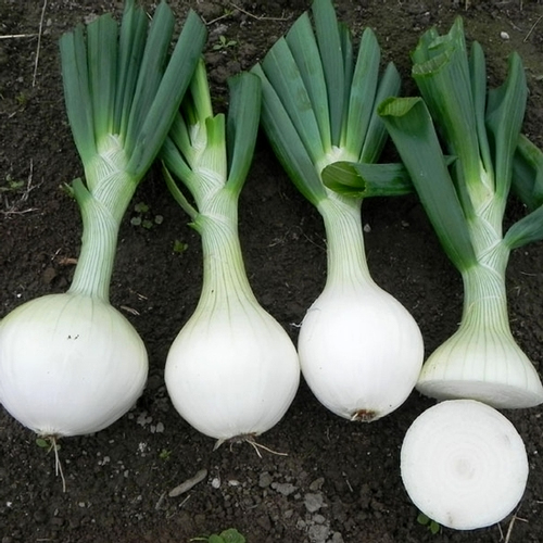 Scallion bulbs