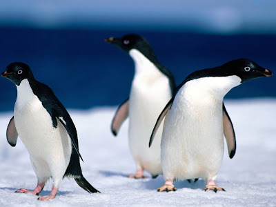 Penguins Standard Resolution HD Wallpaper 5