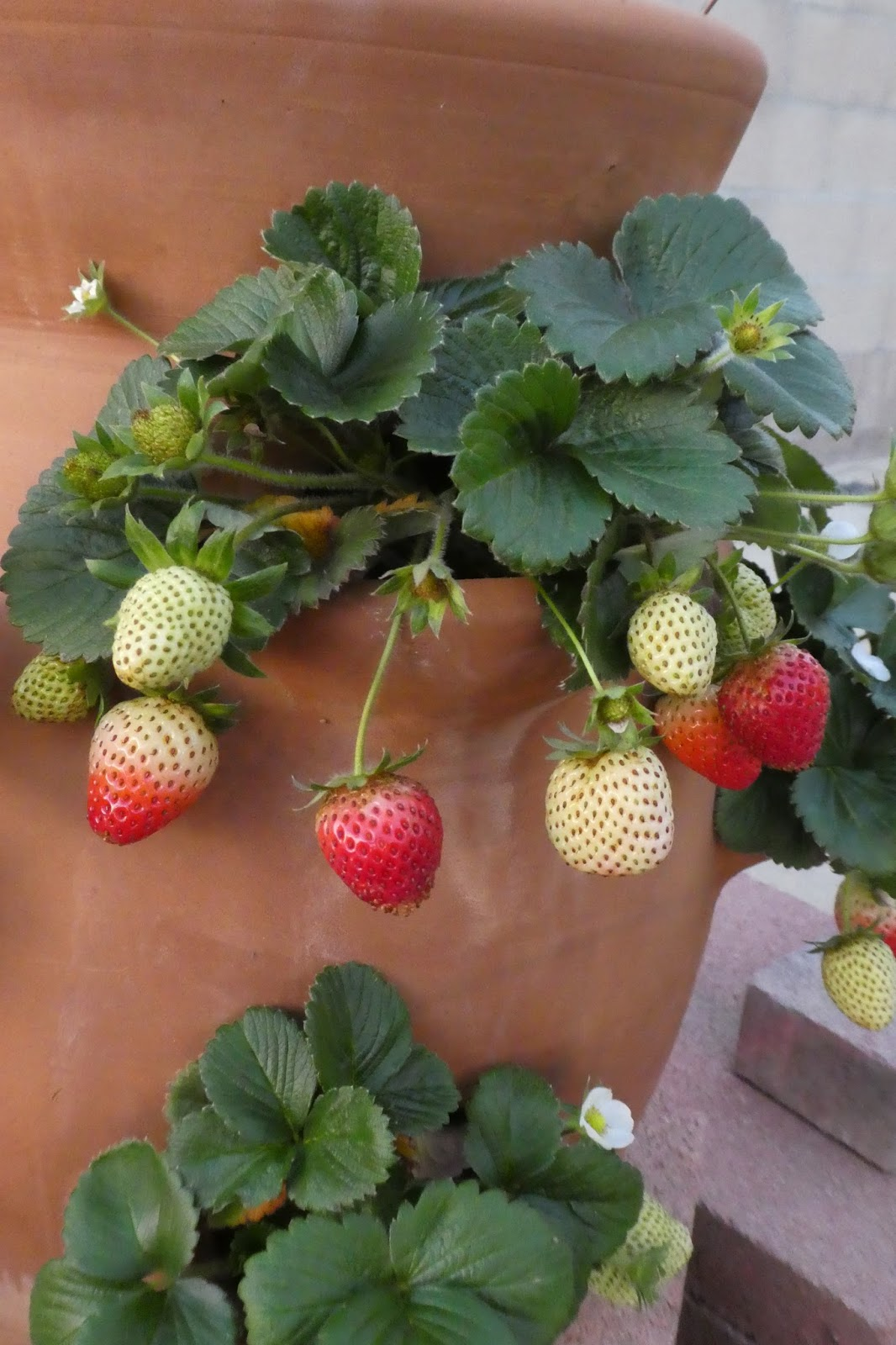 Why I Love To Garden: Sequoia Strawberries