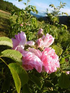 Rose de soirée, espoir, malooka