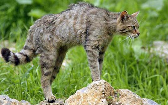 Gato-do-Mato-Grande (Leopardus geoffroyi)