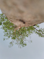 pohon..Hasil Kamera Hisense Pureshot