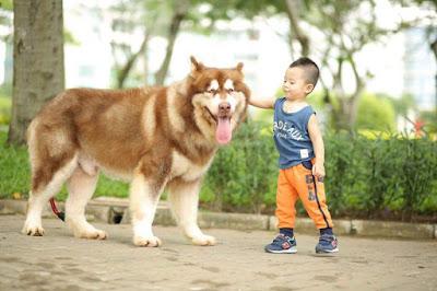 Phối giống chó Alaska uy tín tại Quận 9, Quận 2, Thủ Đức
