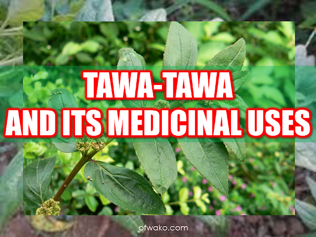 """Asian countries are known for its vast natural resources with a wide variety of medicinal plants and herbs. In fact, most health websites feature herbal medicines in curing most of the health problems. Euphorbia Hirta is among the most potent herb in the list of herbal medicines that can be found in health articles over the net.  Advertisement     Sponsored Links      Tawa-tawa, with a scientific name Euphorbia Hirta, is commonly found in any neighborhood in tropical areas.In the Philippines,this plant can be found almost anywhere growing with common bushes and grass.In other countries,tawa-tawa is called the """"asthma weed"""" for its known efficacy in curing asthma.  Tawa-tawa is known for its analgesic,antipyretic, anti-inflammatory and anxiolytic properties. It contains gallic acid,quercetin, triacontane, cetyl alcohol,phytosterol, phytosterolin, jambulol, melissic, palmitic and linoleic acid. It also has euphorbianin,leucocyanidol, camphor, quercitrin and quercitrol.  Vitamin contents of tawa-tawa plant includes ascorbic acid, thiamin, riboflavin and niacin.   MEDICINAL USES: The different parts of the tawa-tawa plant have a variety of medicinal uses.  For treating patients with asthma, the white resin is mixed with drinking water to alleviate asthma symptoms. Dried leaves made like a cigar can also be used. For other instances, the plant is boiled to make a tea for the asthma patient.  For the treatment of dengue fever, making tea from the whole plant without the roots is a potent cure. For the common fever, the tea made from boiling tawa-tawa roots is being used.  The same treatment is used for those with loose bowel movement or diarrhea, making a tea from the roots has the same medicinal effect.  Tawa-tawa resin can be used for the treatment of ringworm. The resin is applied to the affected area directly. It can also be used for the treatment of sty (kuliti). You can apply the resin to the affected area.  For boils, crushed or minced tawa-tawa leaves can be appli"""