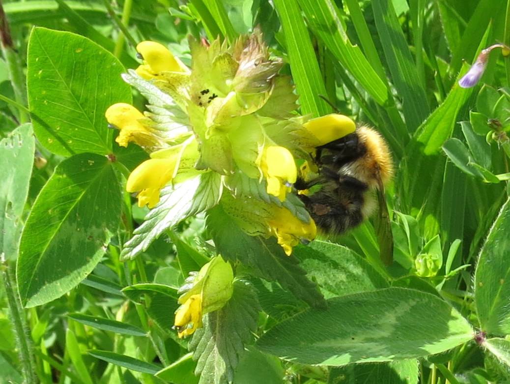 Blue Borage Summer Meadows Wildflowers Butterflies Bees And Moths