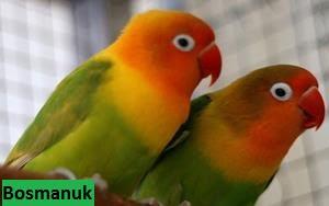 Daftar harga Burung Lovebird 2017 terbaru