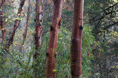 Chinese red birch (Betula utilis ssp. albosinensis)