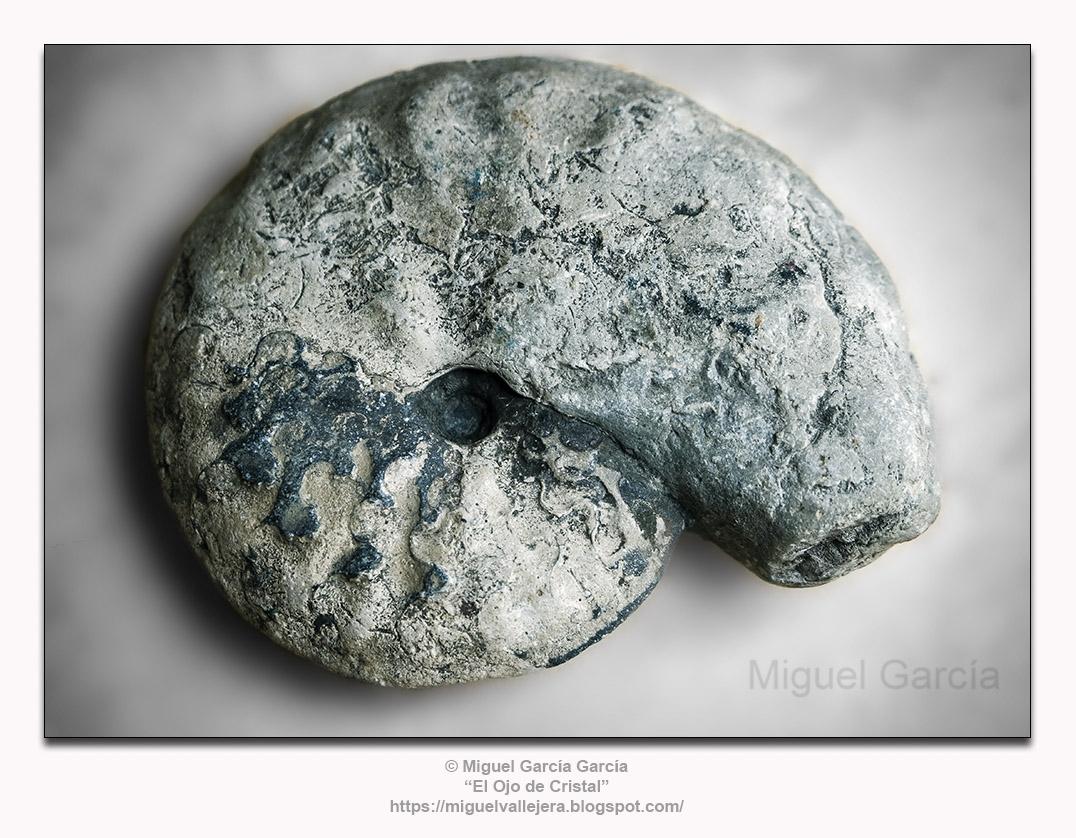 Fósil de Ammonites (80 millones de años).