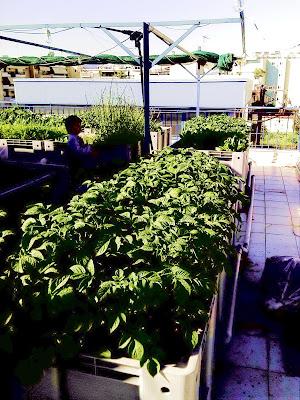 Καλλιέργεια λαχανικών σε ταράτσα