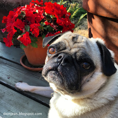 Liam the pug next to bright red flowers