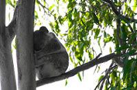 Koala Spotting at Noosa