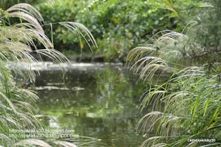 池とススキの写真