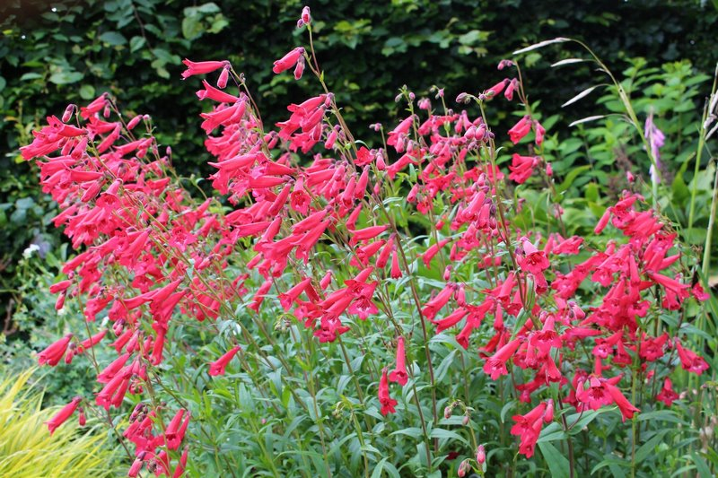 flores con forma de campanilla en color rojo