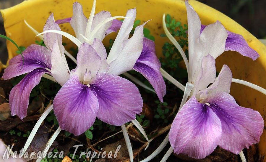 Otra foto de las flores del Lirio de la Resurrección, Kaempferia rotunda