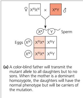 Penentuan Jenis Kelamin, penentuan jenis kelamin laki laki, penentuan jenis kelamin perempuan, penentuan jenis kelamin pada non mamalia, penentuan jenis kelamin pada ayam, penentuan jenis kelamin ayam, penentuan jenis kelamin lebah, pembentukan testis dan ovarium pada bayi, pola pewarisan kromosom X, pola pewarisan kromosom y, gen terpaut kromosom x, gen terpaut kromosom y, penyakit terpaut kromosom x, penyakit terkait kromosom y, pola pewarisan penyakit buta warna