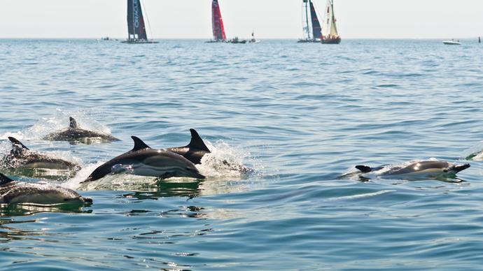 Golfinhos a nadar no Tejo