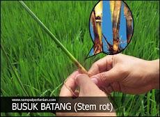 Penyakit BUSUK BATANG (Stem rot) pada tanaman padi