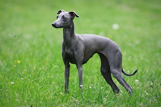 http://www.italiangreyhound.eu/p/stupor-mundi-norin-queen_16.html