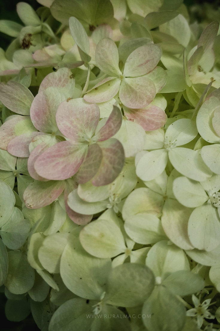 Limelight Hydrangea blossoms from www.ruralmag.com
