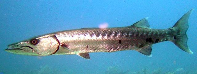 Peixe Barracuda ( Sphyraena barracuda)