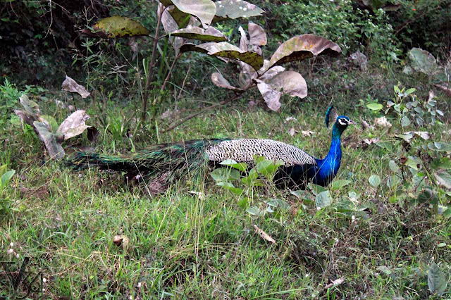 Peacock at Masinagudi