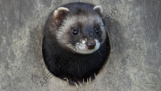 Polecat looking out of a hole