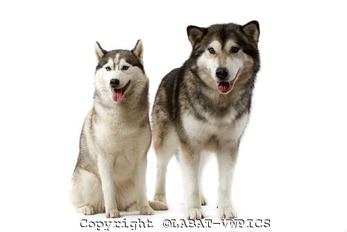 Husky Frases: Imagens Do Cachorro Husky Siberiano