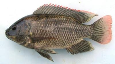 Peluang Bisnis Usaha Budidaya Ikan Mujair dengan Analisa Lengkap