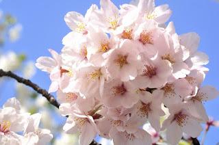 Gambar Bunga Sakura Paling cantik di Jepang 17000