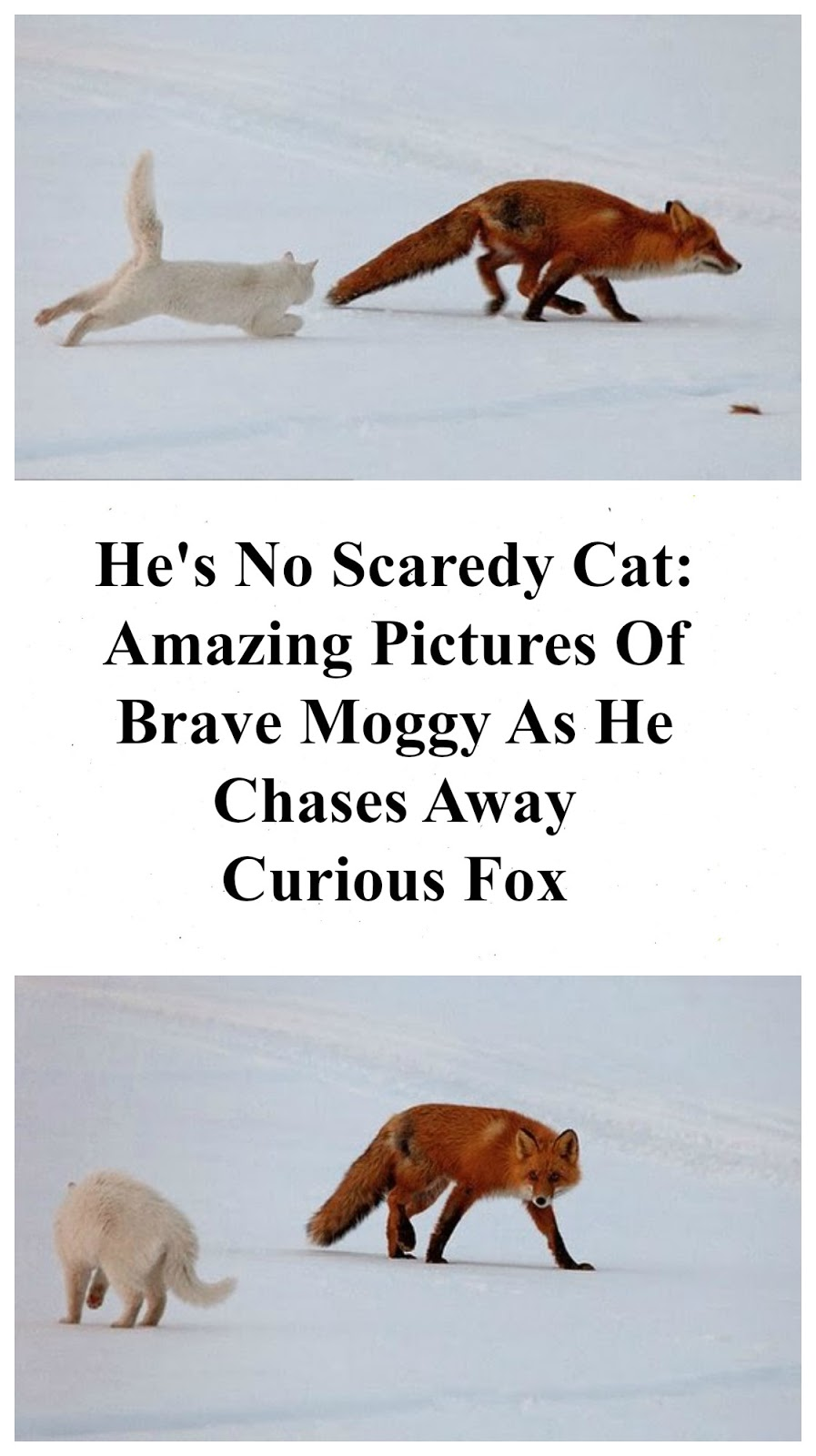 brave cat chases curious fox