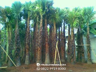 Tukang Taman Jakarta - palm sadeng