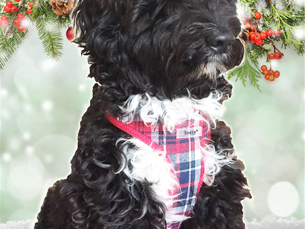 Blogmas Day 4: Christmas Outfits for the Pup!