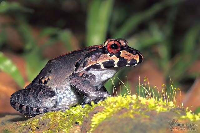 Leptodactylus savagei - Savage's Bull Frog