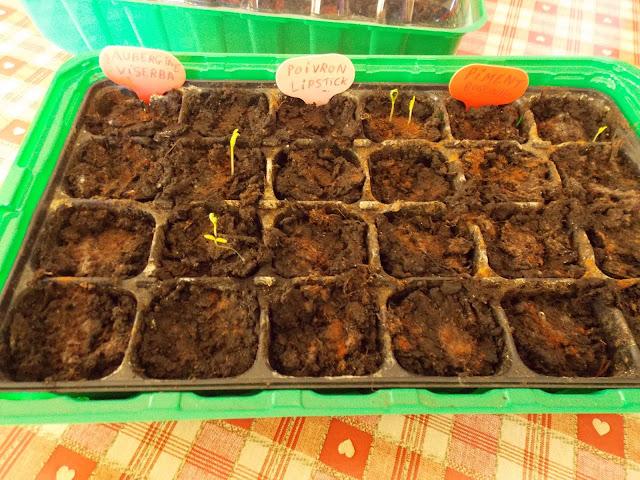 Les premiers semis de légumes d'été commencent à sortir