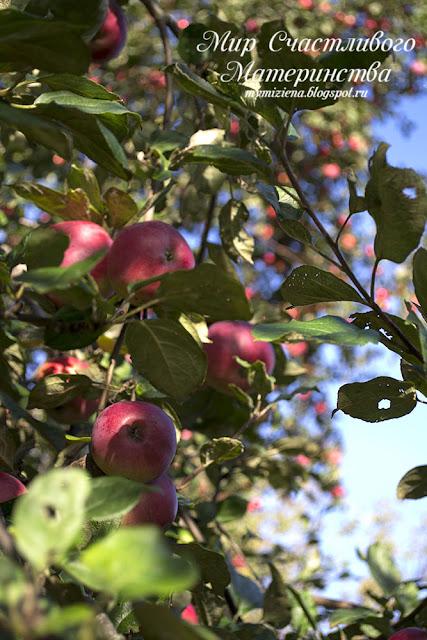 зимний сорт яблок звездочка