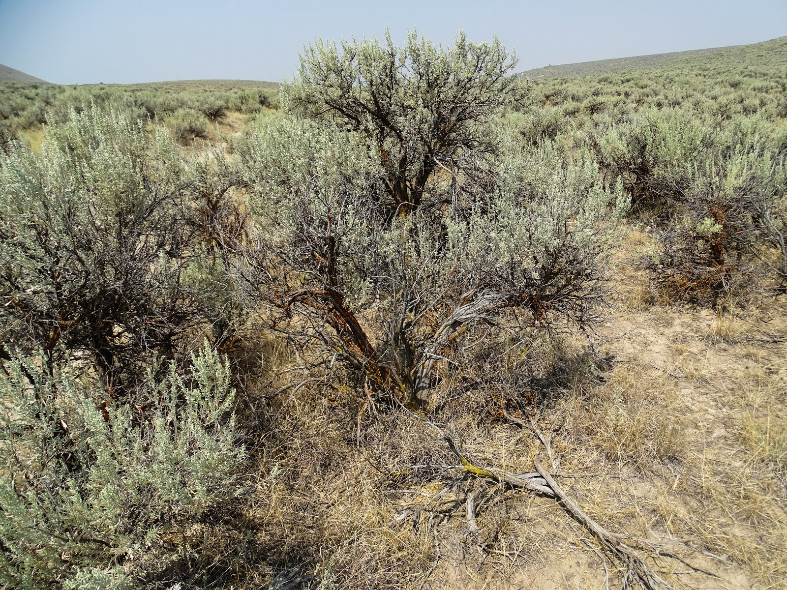 Artimesia Or Sagebrush Is Really A Long List Of Individual Species Many Which Have Similar Earance In Places The Western United States