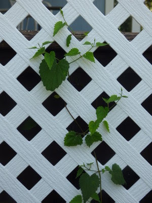 Young hops vine growing on a trellis.
