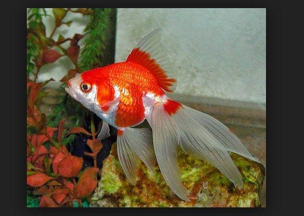 Cara Budidaya dan Pemijahan Ikan Mas Koki Secara Alami