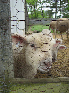 lamb at Slate Run Farm
