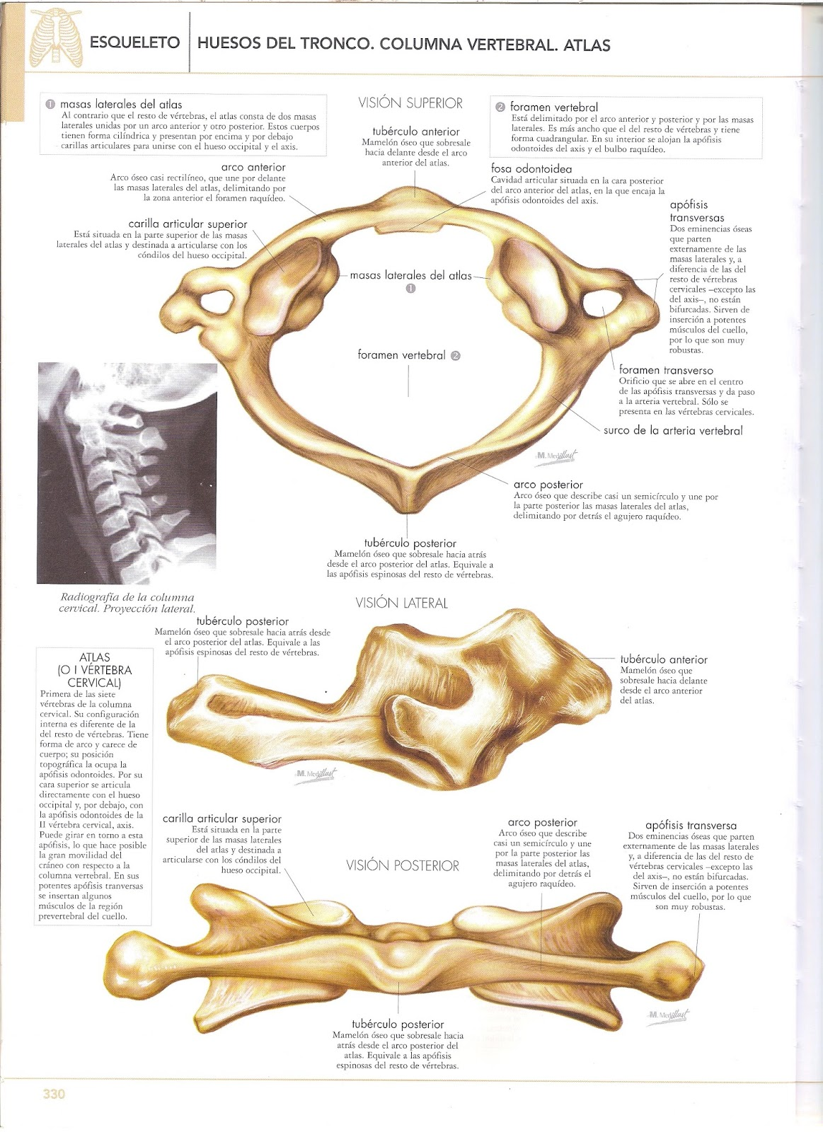 Anatomia del cuerpo humano: columna vertebral