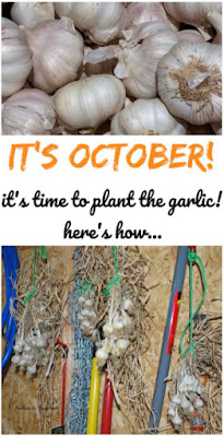 planting fall garlic