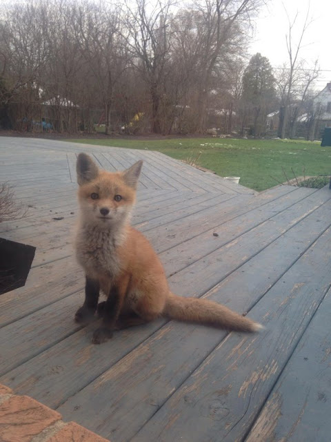 One of the fox pups that lives in our backyard. We call him Jasper