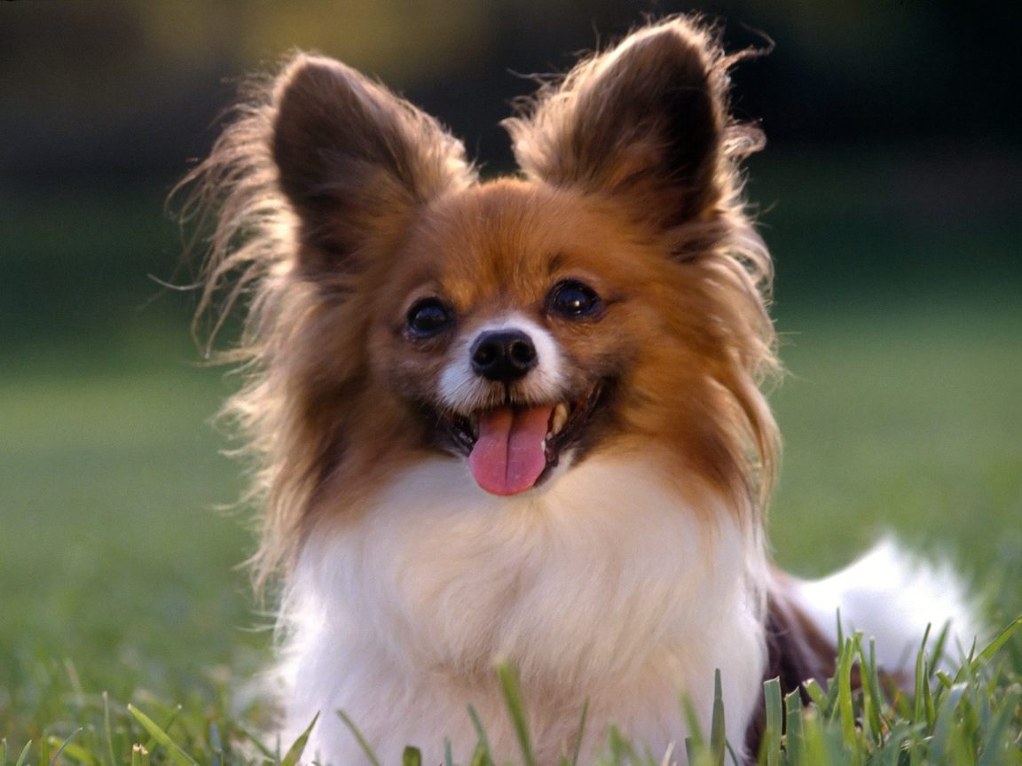 Cute Chihuahua Puppies Wallpaper Free Desktop Backgrounds And Wallpapers Top 10 Small Dog