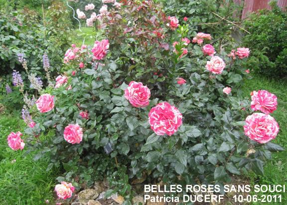 belles roses sans souci rosier malade. Black Bedroom Furniture Sets. Home Design Ideas