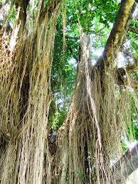ciri ciri pohon beringin