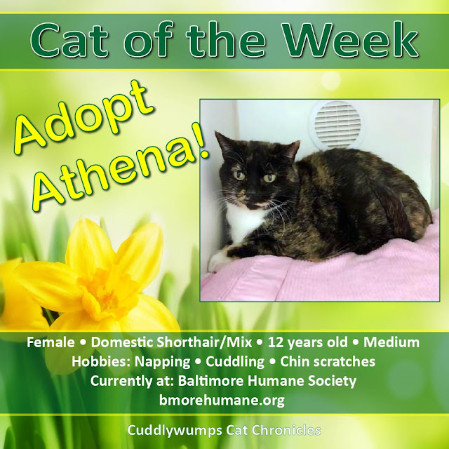 Cat of the Week: Athena