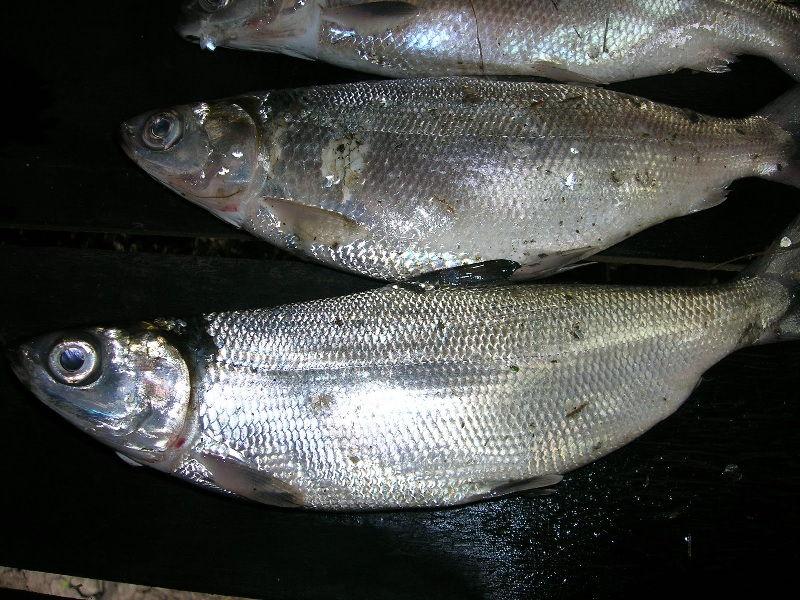 klasifikasi ikan bandeng