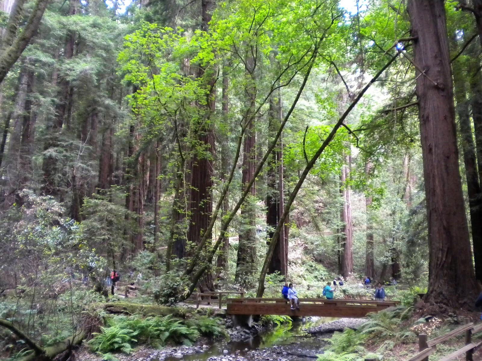 muir woods punapuumetsä kansallispuisto san francisco california matkailu matkajuttu mallaspulla